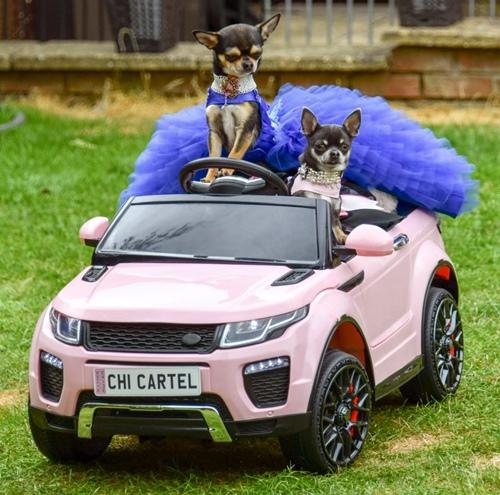 Chó nhà giàu đi siêu xe